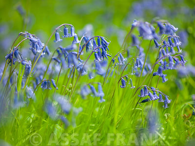 Bluebells photos