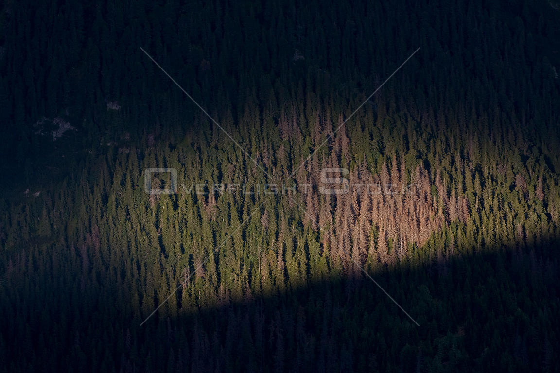 Sunbeam lighting Spruce forest; the brown patch of trees are affected by Bark Beetle (Curculionidae). High Tatras, Slovakia, ...