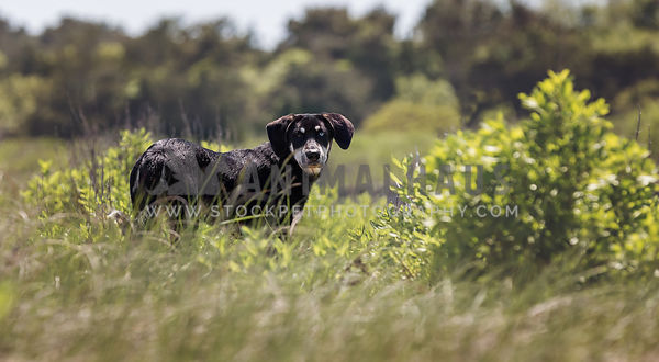 Catahoula mixed breed standing in grassy marsh