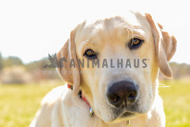 cute yellow labrador retriever dog closeup at park with red collar