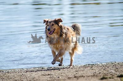 A happy Collie mix jogs along the beach