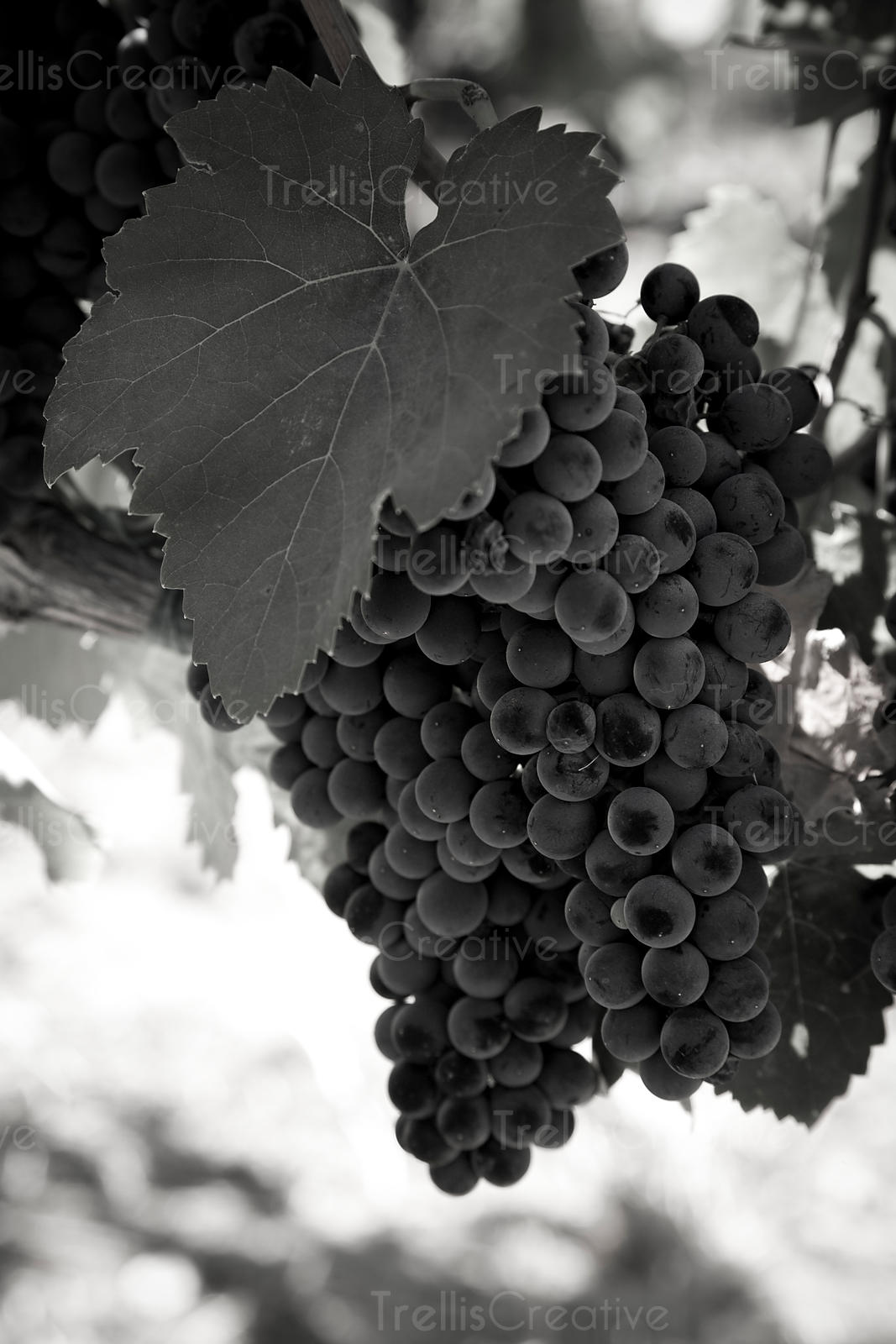 Clusters of ripe malbec wine grapes on the vine