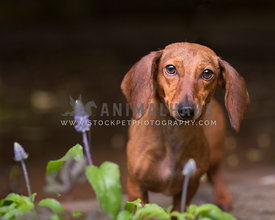 Smooth red doxie with droopy ears off leash outside with flowers in garden