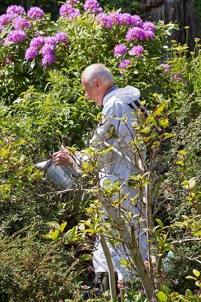 Bee keeper smoking bee swarm out of shrubs