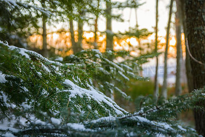 Snow on fir with morning lights