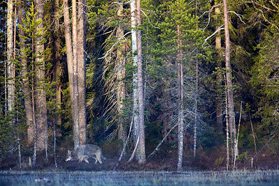 The Grey Wolf, Canis lupus, susi