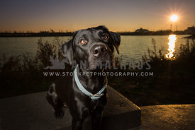 black lab sunlight with blue collar