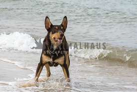 Kelpie standing in water waiting for ball to be thrown,ears up.