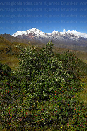Gynoxys species bush, Mts Illampu (L) and Ancohuma (R) in background, Cordillera Real, Bolivia