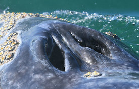 Grey Whale Blow-Hole