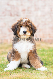 young bernadoodle puppy sitting in grass