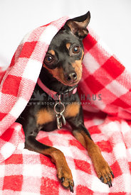 min Pin Dog under blanket