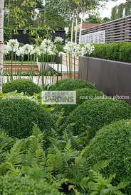 Topiaire dans un jardin contemporain : Buxus sempervirens (buis), Common box. Conception : OneAbode Ltd. HCFS, Angleterre