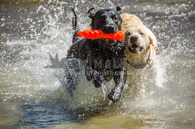 yellow and black labradors bound through the water vying for an orange bumper toy