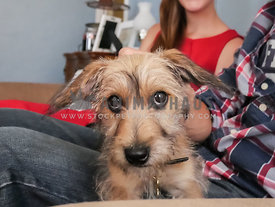 terrier puppy sitting on owner's lap on the couch