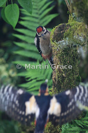 Juvenile Great Spotted Woodpecker (Dendrocopos major) watching its out-of-focus parent flying towards it with food, Cumbria, ...