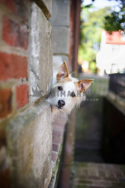 jack russell dog peekign out from brick wall