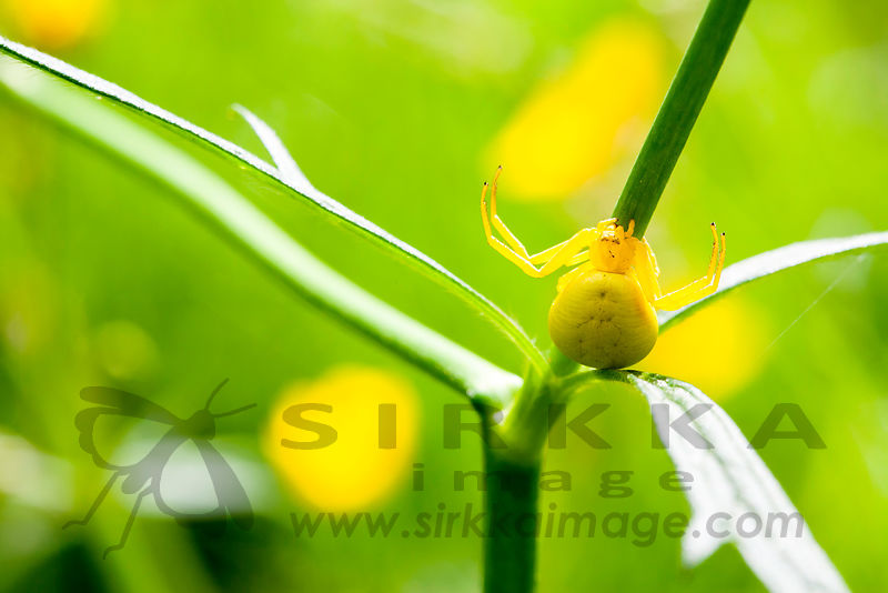 Misumena vatia is a species of crab spiders