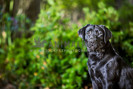 black labrador retriever adult sitting looking at camera outside