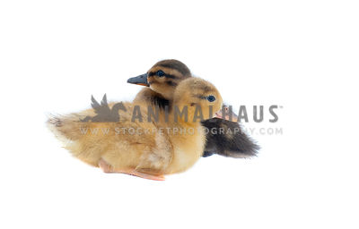 Baby Ducks isolated on white