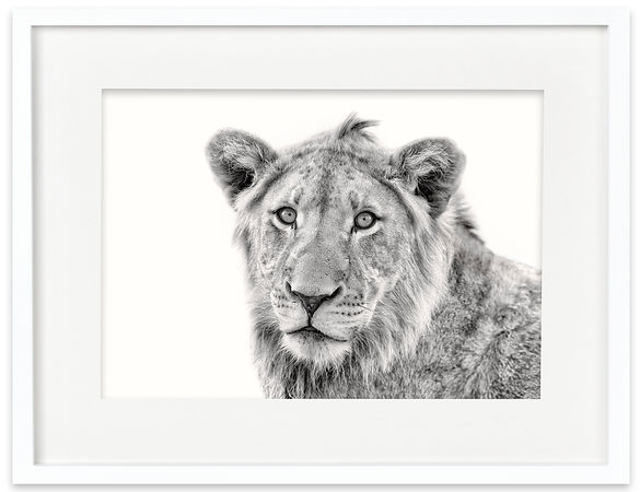 Lion Cub | Africa on White