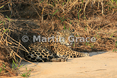 Female Jaguar 'Hunter' (Panthera onca) rests by Three Brothers River, Northern Pantanal, Mato Grosso, Brazil. Image 34 of 62;...