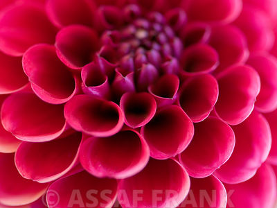 Close-up of pink dahlia flower, full frame