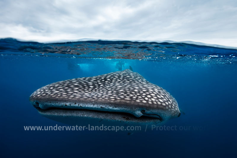 Whale shark in split level