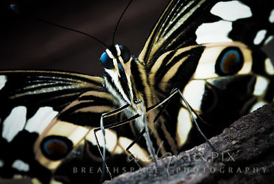 Citrus swallowtail (Papillo demodocus) butterfly