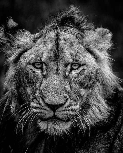 1677-Lion_s_face_Laurent_Baheux