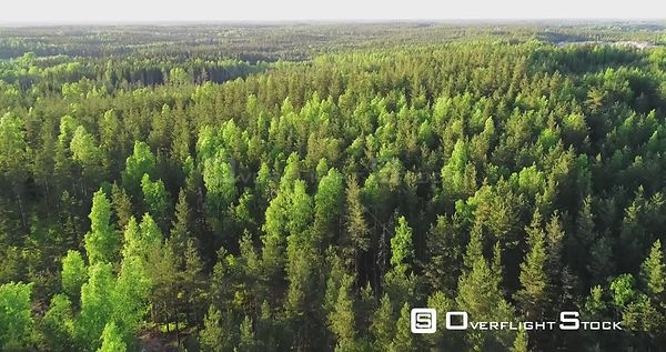 Spring Color Forest, Aerial, Drone Shot, Over Endless, Light Green Finnish Trees and Scandinavian, Green Gold Trees, on a Sun...