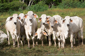 Vaches de race Brahmane en Martinique