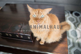 Uncertain cat sits with ears back on coffee table
