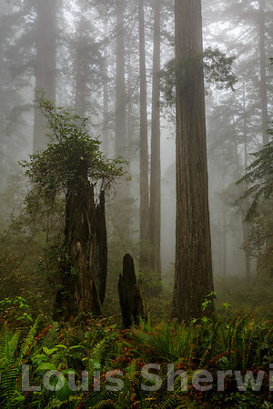 Fog in the ancient forest