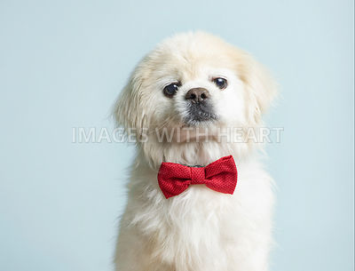 White puppy wearing a red bowtie
