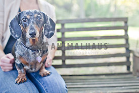 spotted dachshund on woman's lap on wooden tree swing