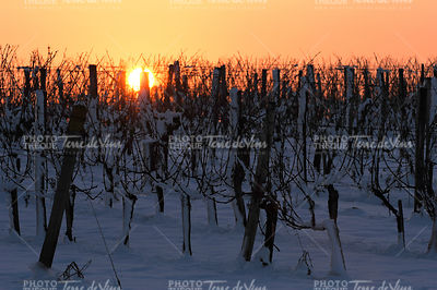 Snow covered vineyards