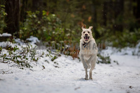 Yellow lab dog running in snow in the forest