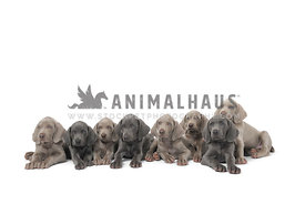Litter of weimaraner puppies in a row on white background