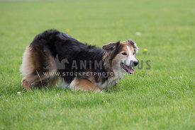 Border Collie Mixed Breed in bow pose on the grass