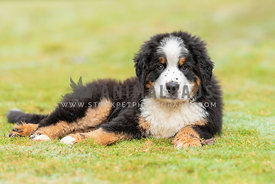 close up of small bernese mountain dog puppy lying down in the grass