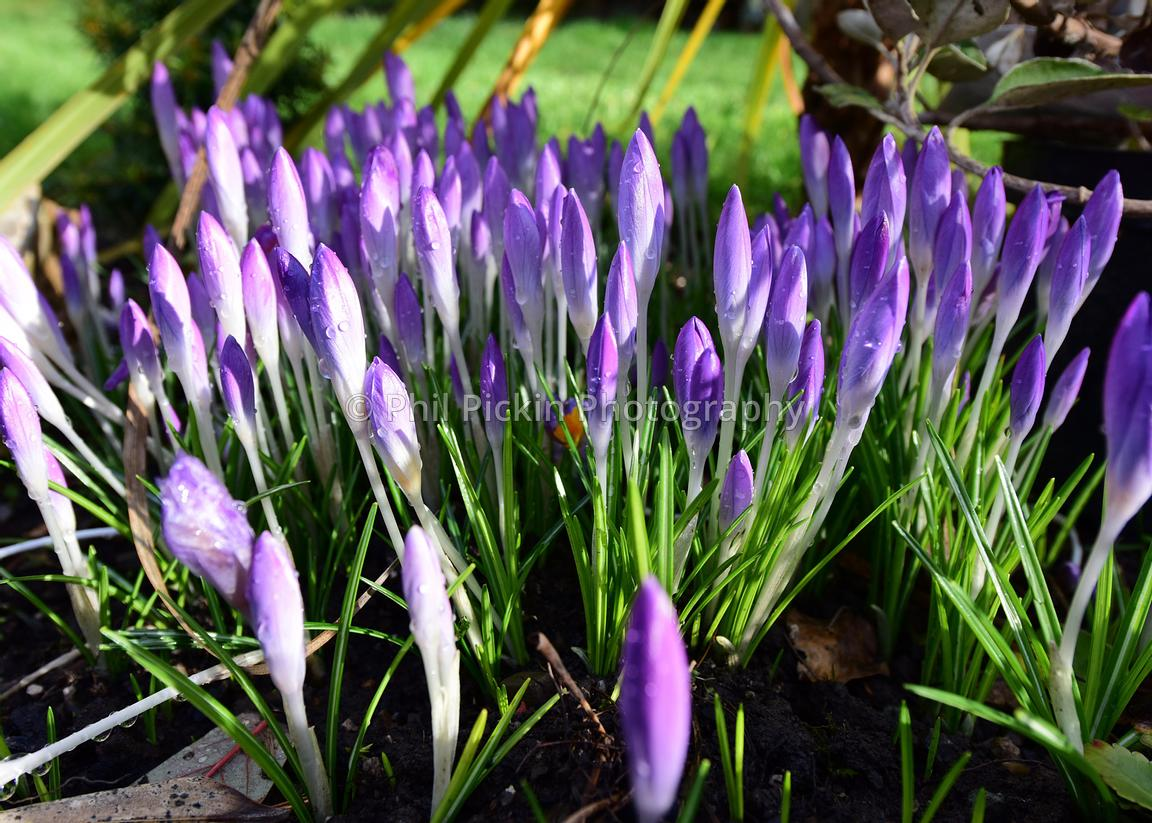 Crocuses almost in flower in a the garden.