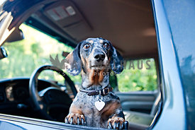 dachshund in car in driver seat looking out of the window