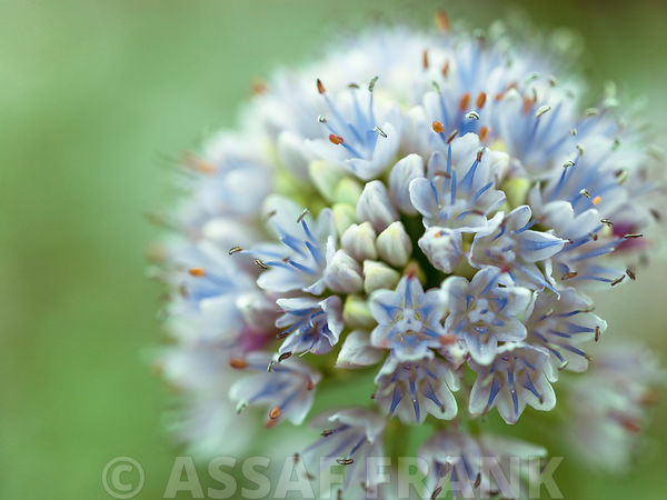 Allium flower, close-up