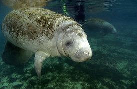 Manatee underwater at Three Sisters Springs, Crystal River, Florida