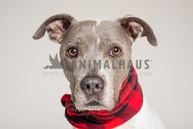 Grey mixed breed dog in a bright red scarf