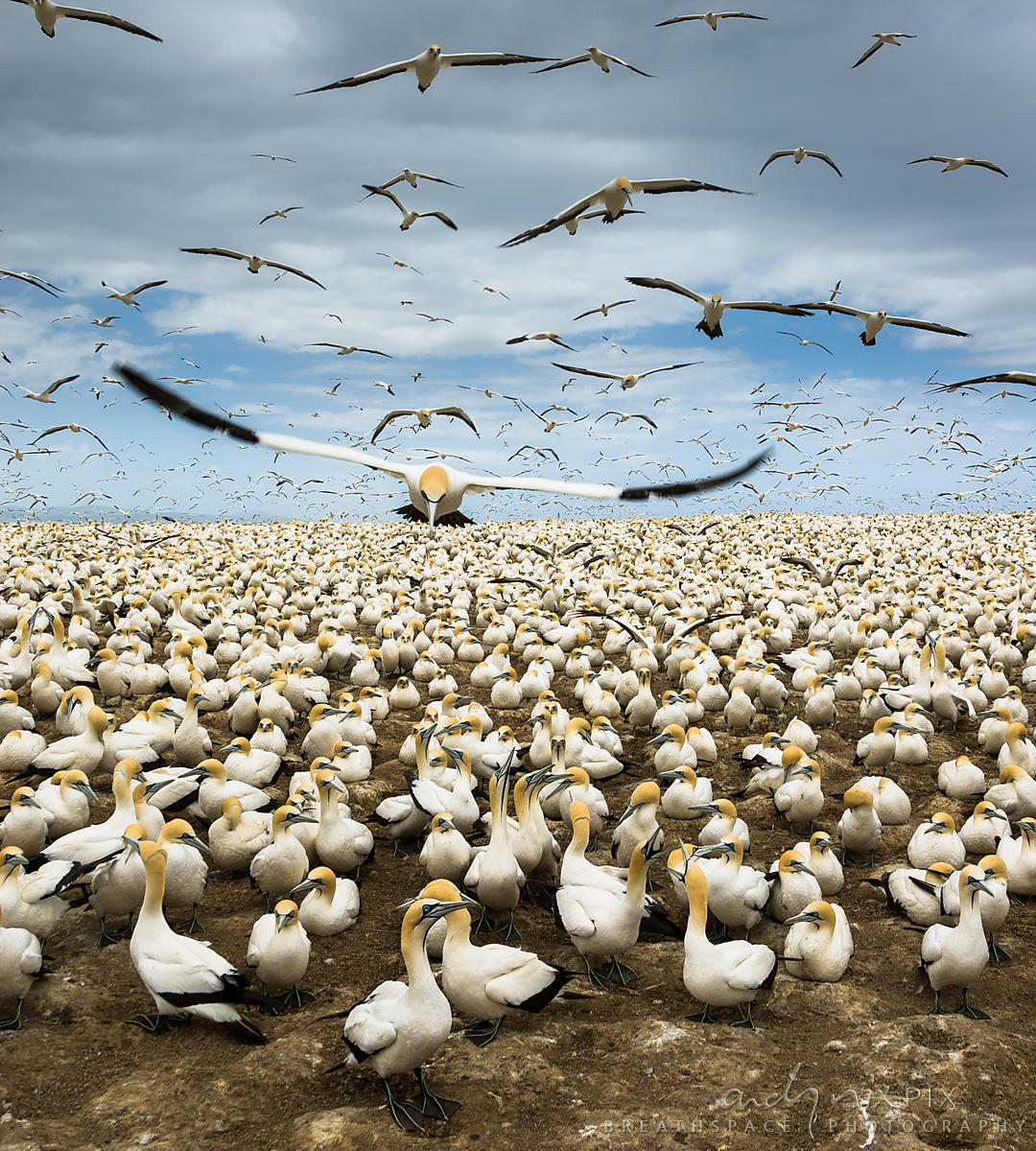 Gannets nesting on Bird Island, Eastern Cape