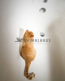 Orange tabby in a bathtub