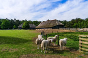 Veluwe sheep at sheep drift Ermelo