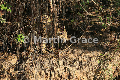 Male Jaguar (Panthera onca) known as Marley at the top of the riverbank, River Cuiabá, Northern Pantanal, Mato Grosso, Brazil